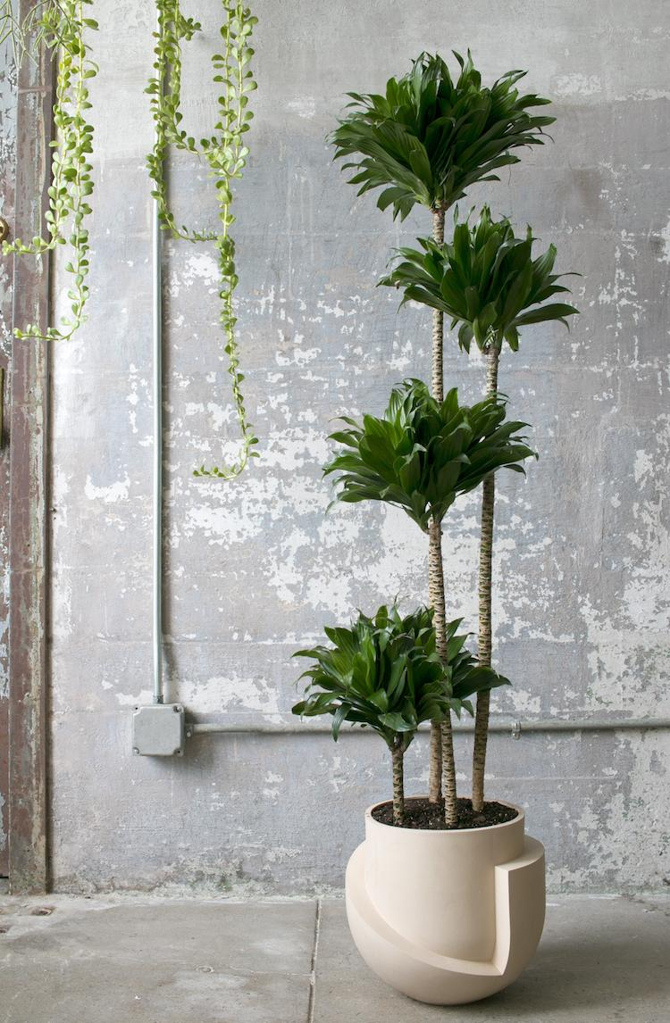 Декоративная пальма