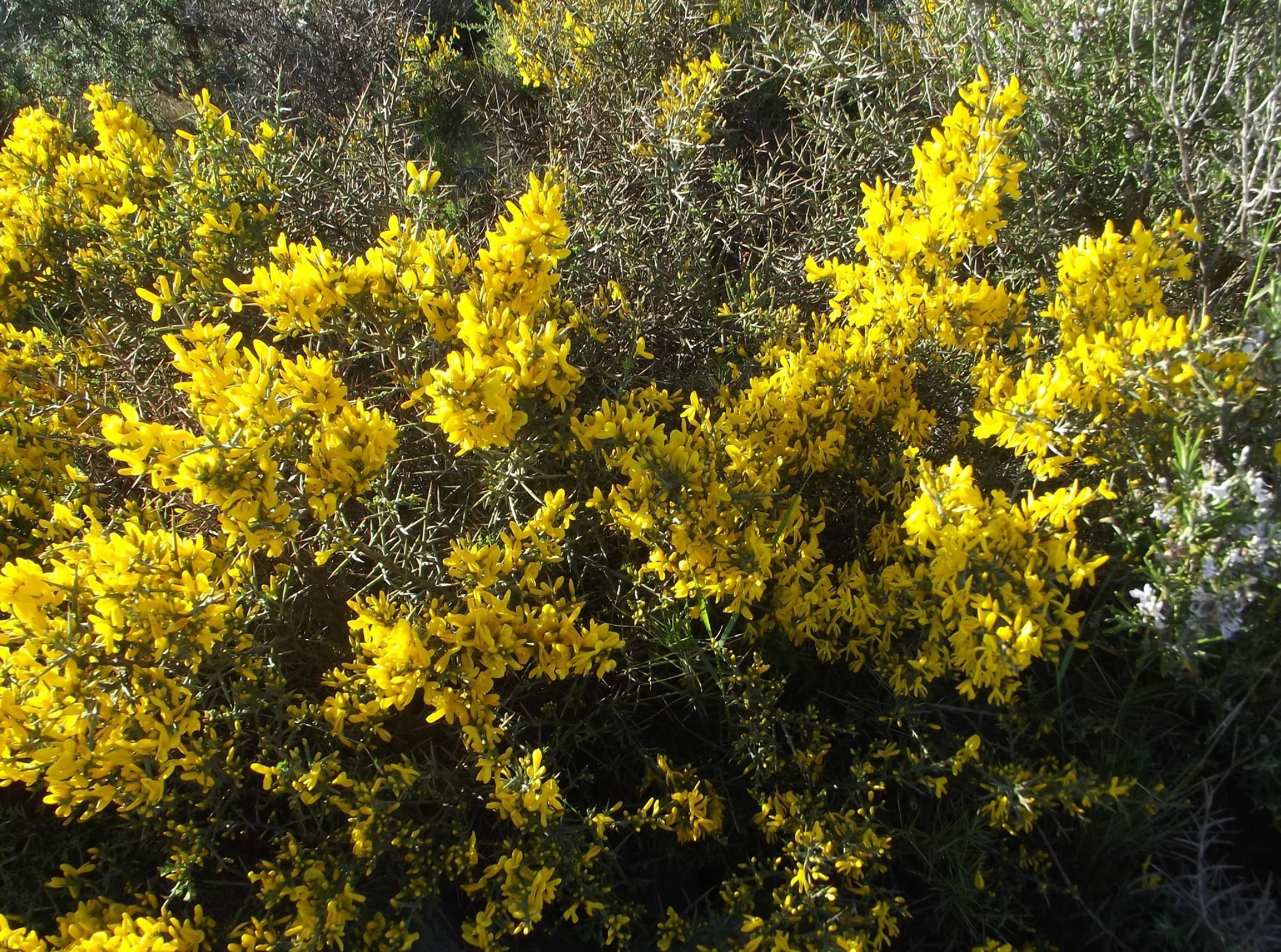 Желтые декоративные кустарники