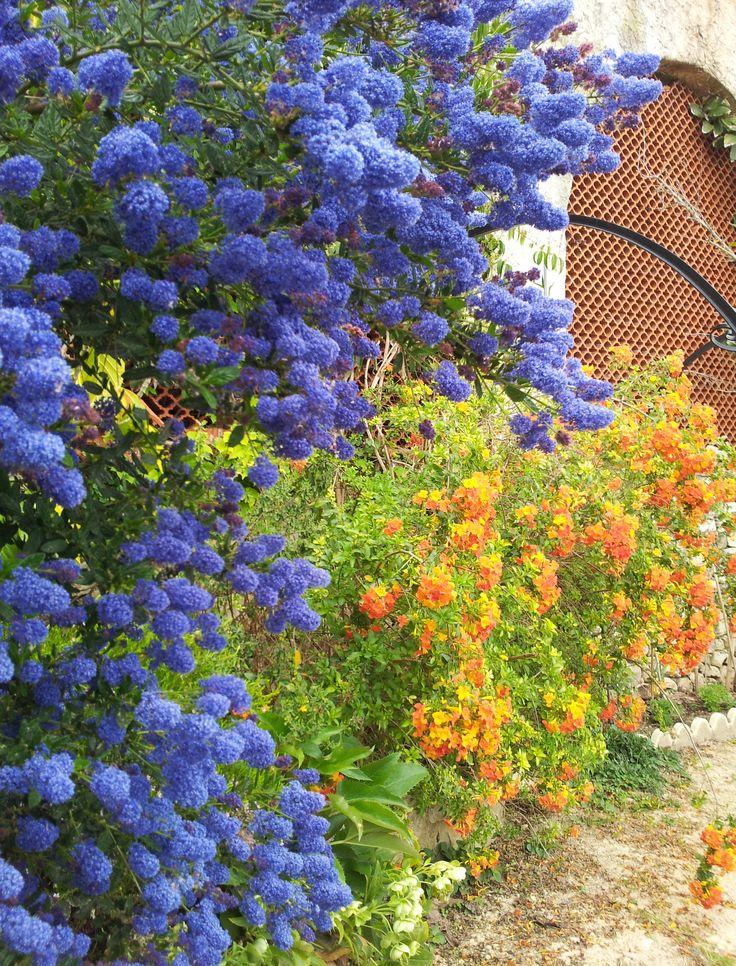 Декоративные синие кустарники