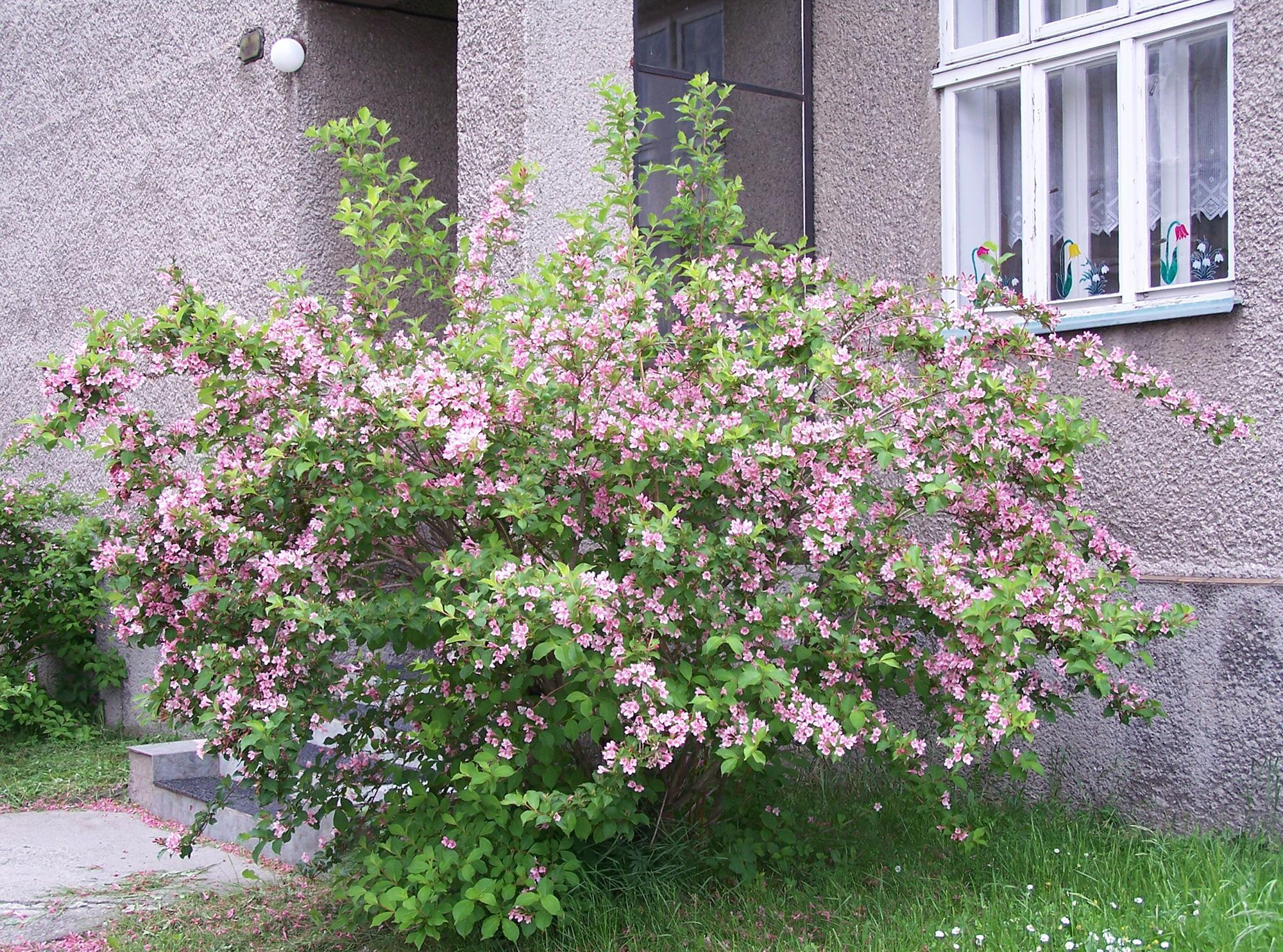 Красивый большой куст с розовыми цветками