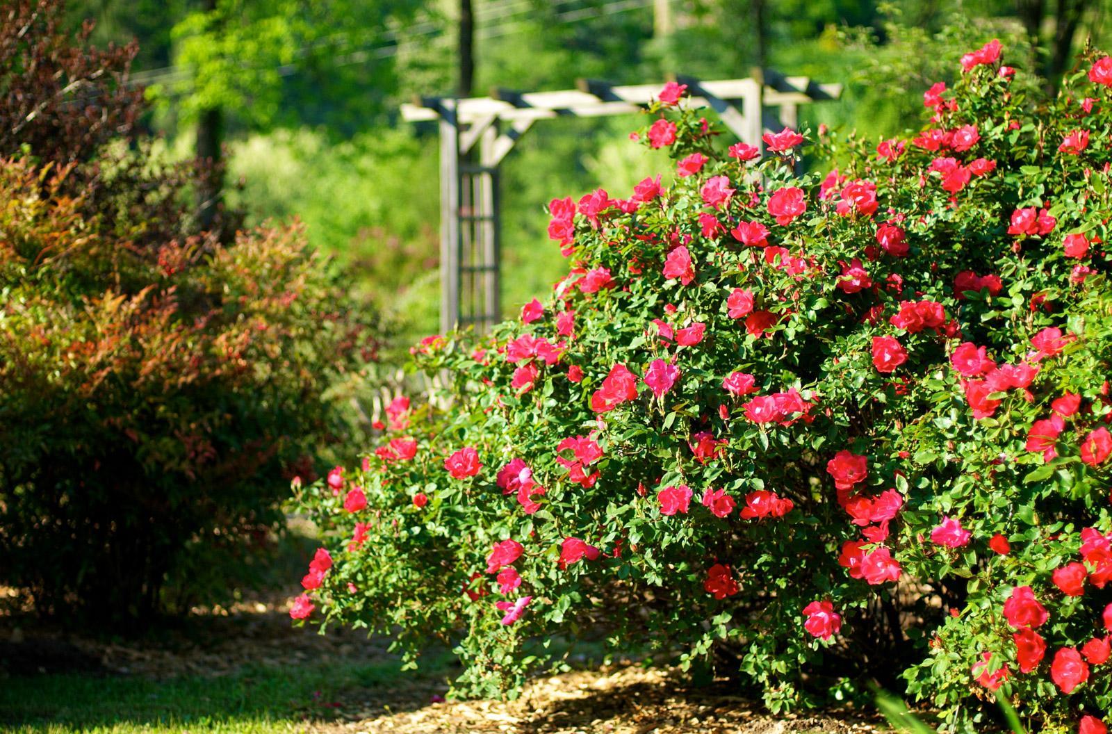 Цветущий куст в саду