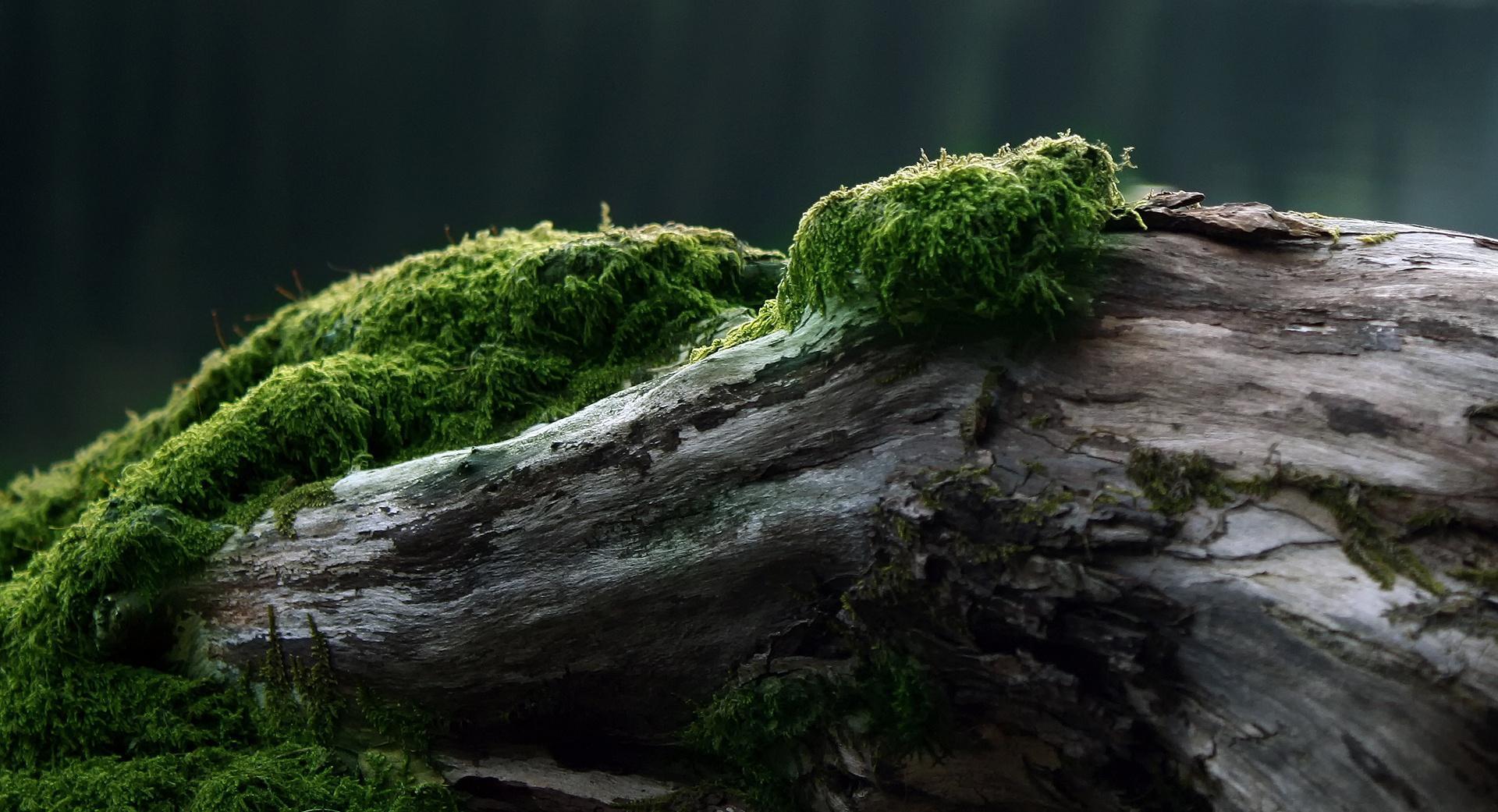 Красивая коряга с мхом для украшения сада или дачи