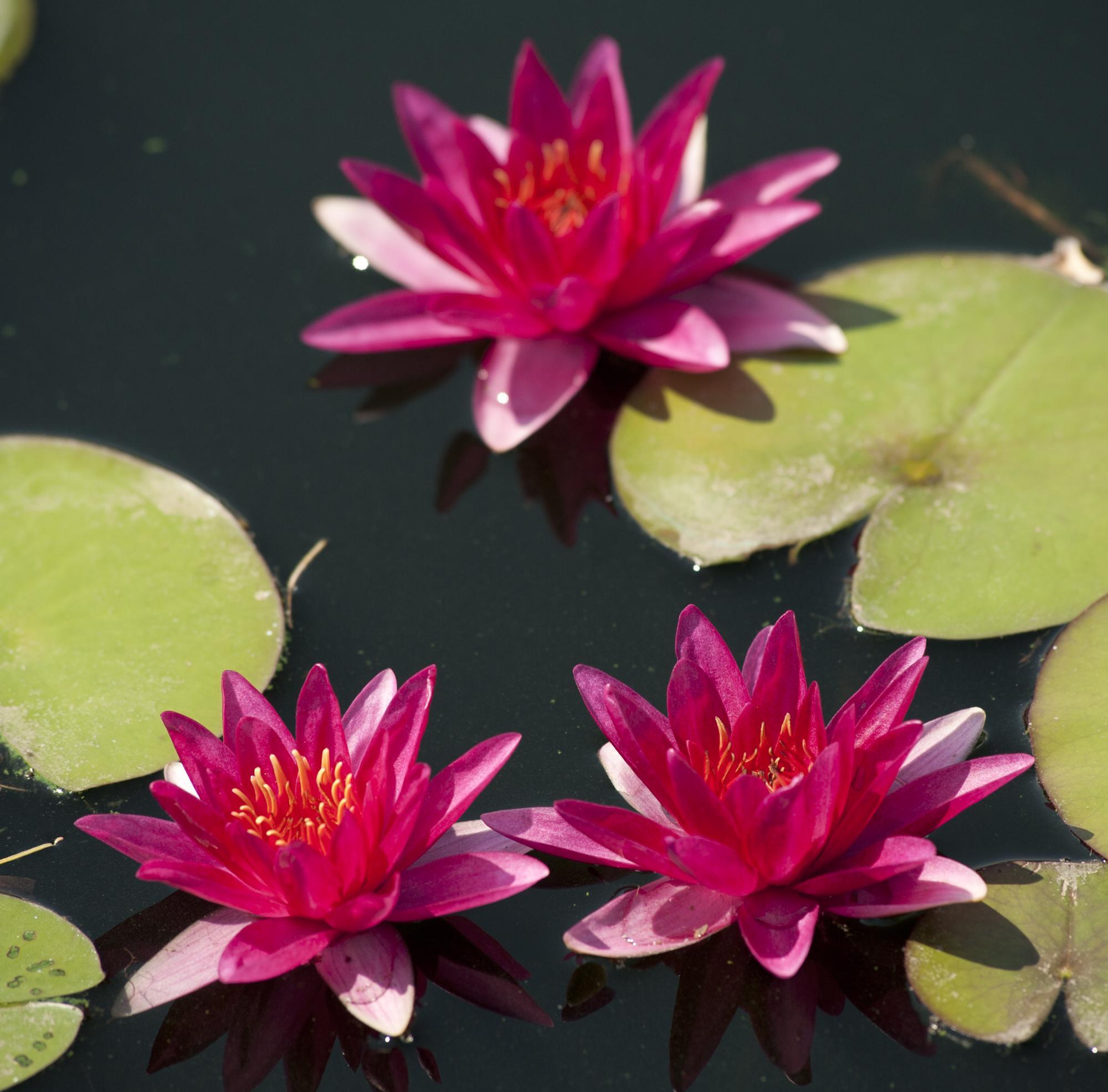 Красивые розовые водяные цветы в саду
