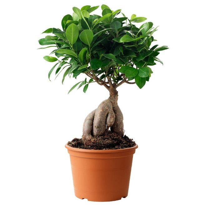 Виды комнатных деревьев и условия разведения