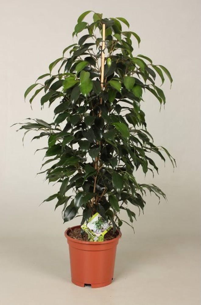 Комнатные деревья: виды, уход, особенности посадки