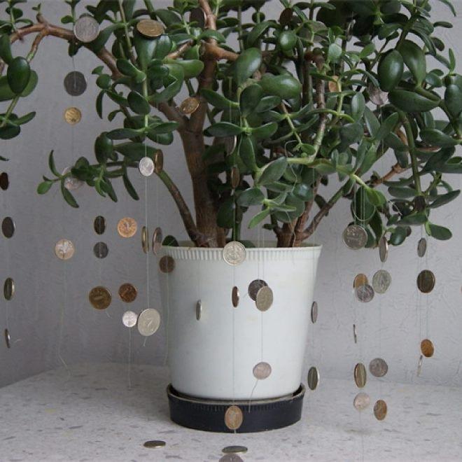 Крассула – денежное дерево