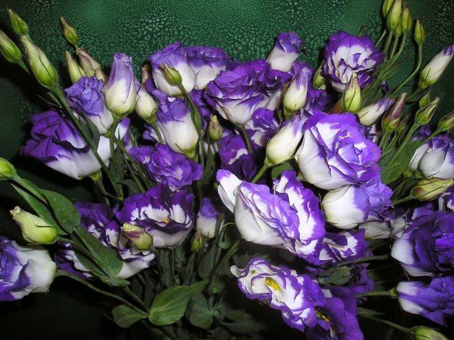 Эустома – ирландская роза