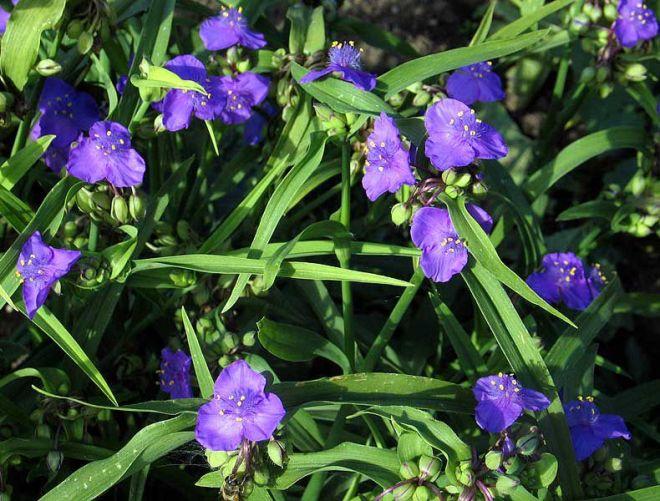 Виды и сорта традесканции садовой