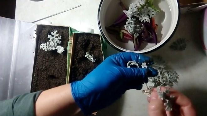Размножение цинерарии