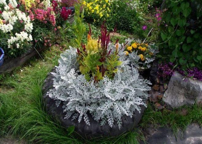 Рядом с какими растениями лучше сажать цинерарию