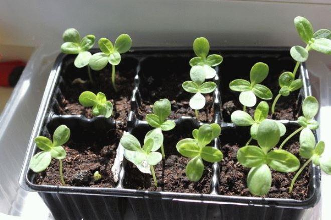 Выращивание цинии из семян
