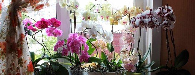 Krasivye sorta orhidei dlya kvartiry i doma 6